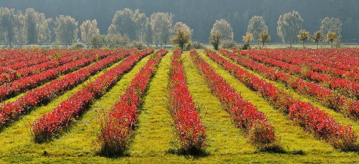 "Aroniaplantage ""AlbAronia"" Imagebild"